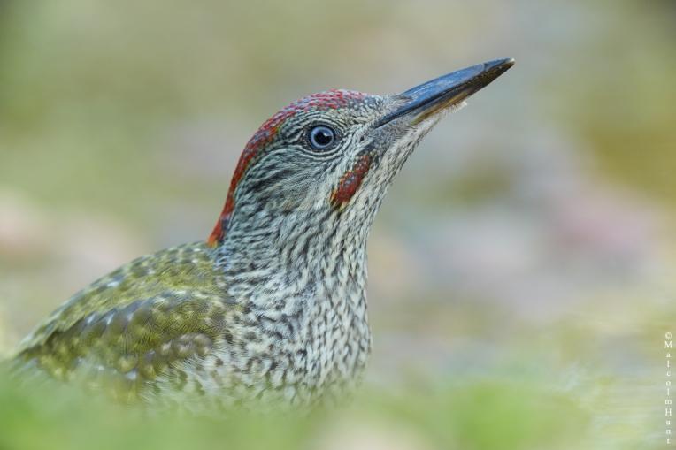 Green-Woodpeckerjuv