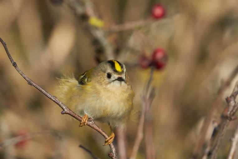 Goldcrest Regulas regulas,adult female perched on twig,Yorkshire,UK,October